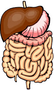 Organ Vitality - Digestive Organs @ Happy Body