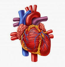 Organ Vitality - Blood Organs @ Happy Body | Asheville | North Carolina | United States