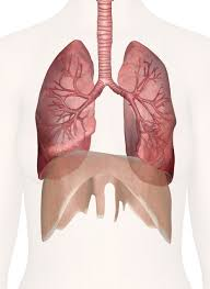 Organ Vitality - Organs of Breath & Voice @ Happy Body
