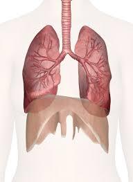 Organ Vitality - Organs of Breath & Voice @ Happy Body